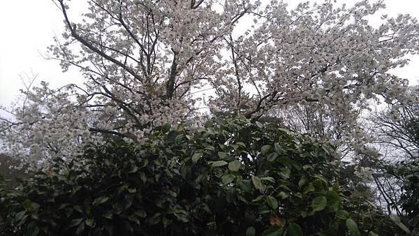 櫻花_170408_0023.jpg