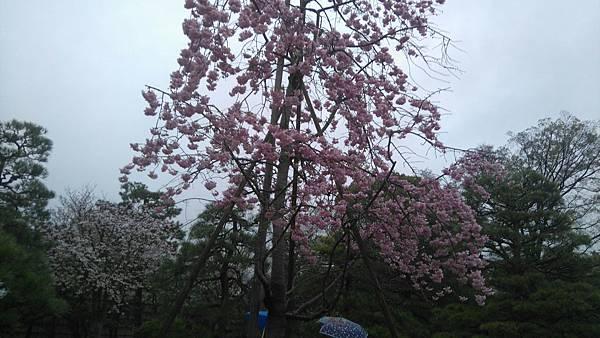 櫻花_170408_0043.jpg