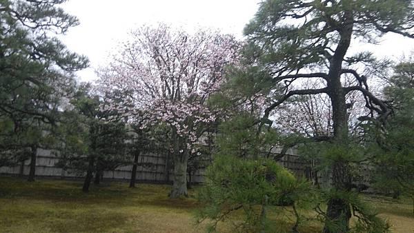 櫻花_170408_0042.jpg
