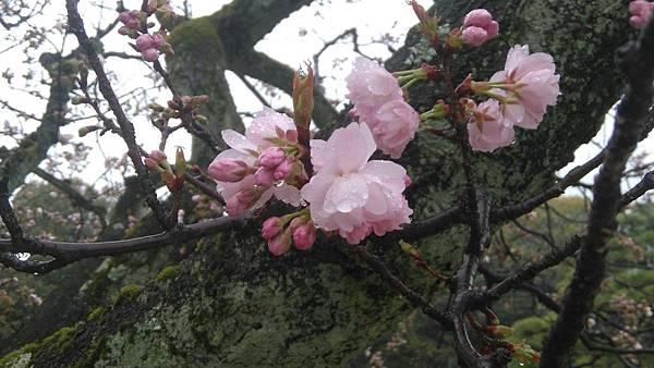 櫻花_170408_0047.jpg