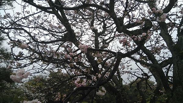 櫻花_170408_0049.jpg