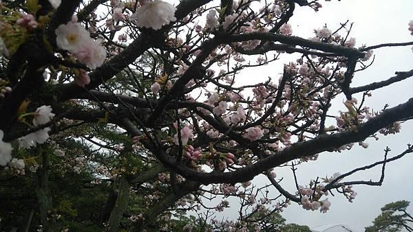 櫻花_170408_0053.jpg