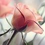 粉紅玫瑰花500pixels.jpg