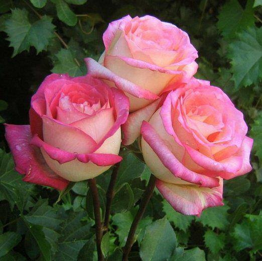 白底粉紅圈玫瑰.jpg