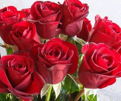 紅玫瑰特寫500pxls.png