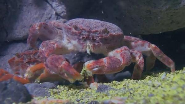 硫磺怪方蟹8