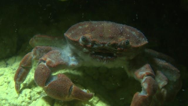 硫磺怪方蟹