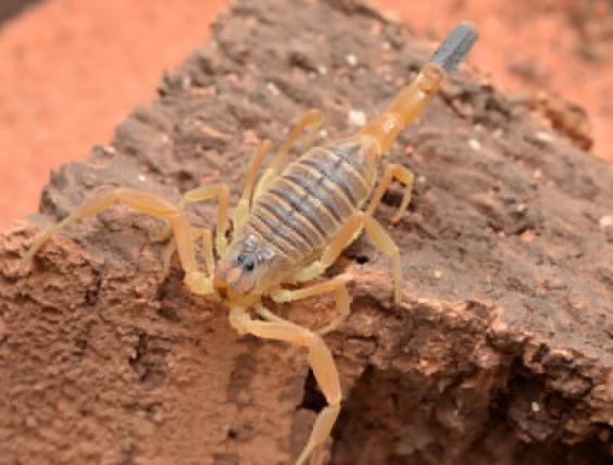 中東死亡蠍