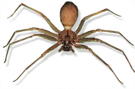 brown_recluse2
