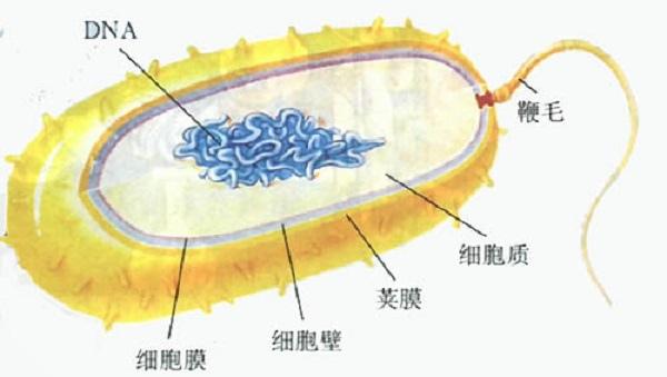 細菌的結構