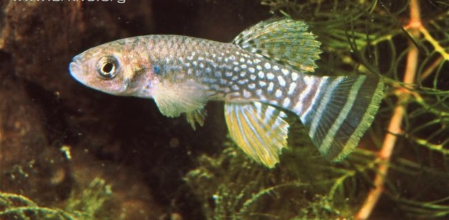 Arabian-killifish