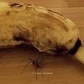 活蜘蛛破皮而出