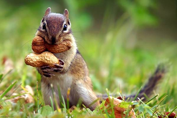 squirrel-nut-cute