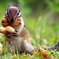 squirrel-nut-cute
