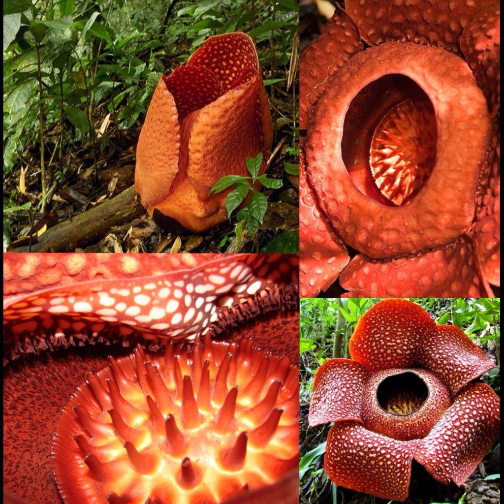 Rafflesia Arnoldii3