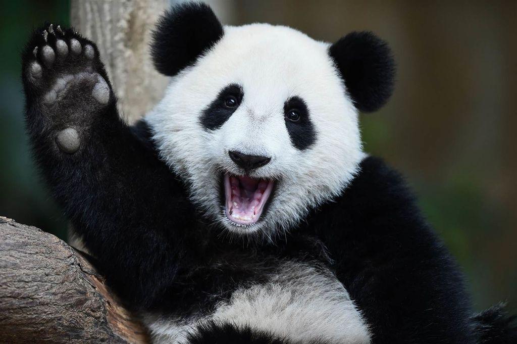 Giant Panda-1000