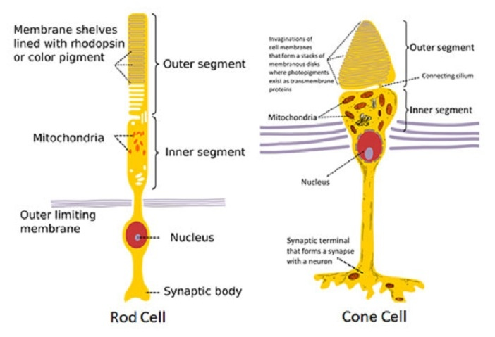 Rods-and-Cones