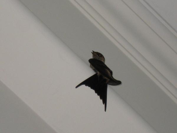 在我家築巢的燕子,有時候會飛進來觀光