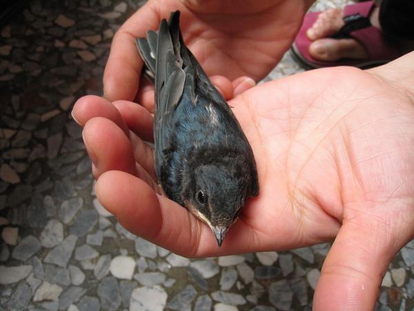 這是剛出生沒多久的小燕子,還不太會飛