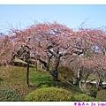 漂亮櫻花樹