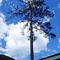 很多大根的樹