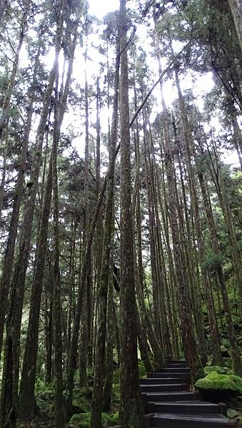 DSC01843-阿里山巨木群棧道一.JPG