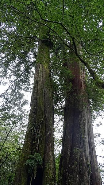DSC01828-阿里山巨木群棧道一.JPG