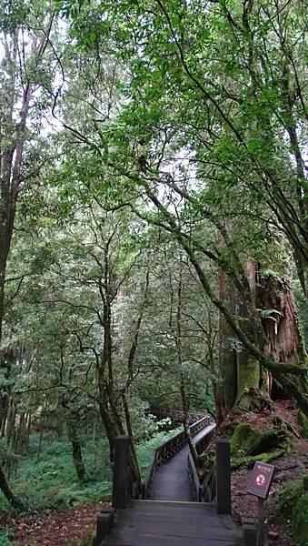 DSC01830-阿里山巨木群棧道一.JPG