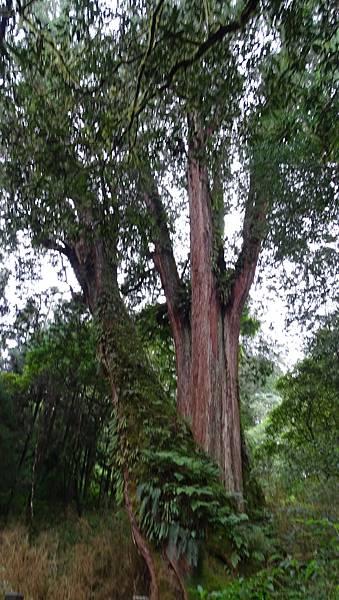 DSC01832-阿里山巨木群棧道一.JPG