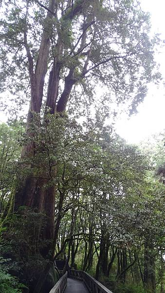 DSC01835-阿里山巨木群棧道一.JPG