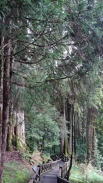 DSC01837-阿里山巨木群棧道一.JPG