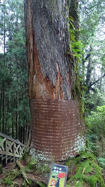 DSC01839-阿里山巨木群棧道一.JPG