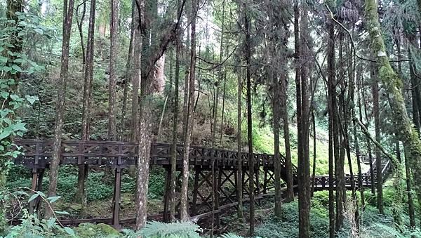 DSC01844-阿里山巨木群棧道一.JPG