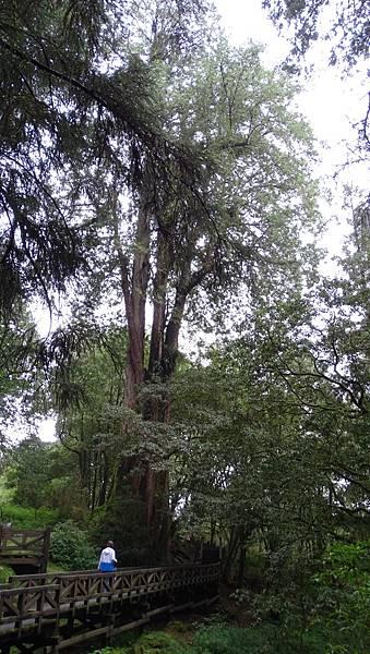DSC01846-阿里山巨木群棧道一.JPG