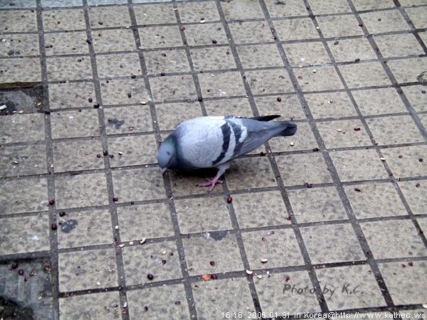 明洞/鴿子