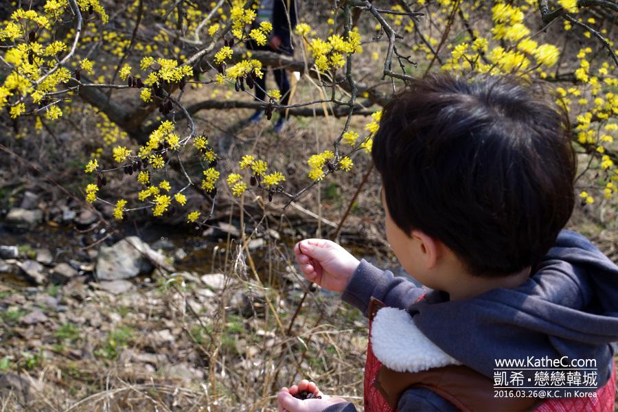 義城山茱萸花慶典