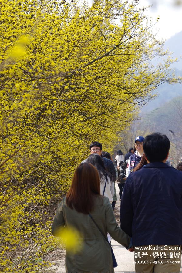 義城山茱萸
