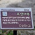 植物標示牌(李樹)