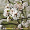 2010年4月 - 春櫻(1024x768)