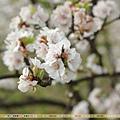 2010年4月 - 春櫻(1920x1080)