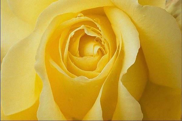 黃色玫瑰_背景.jpg