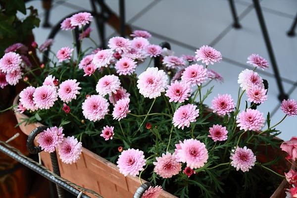 日本路邊花