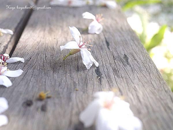 苗栗油桐花