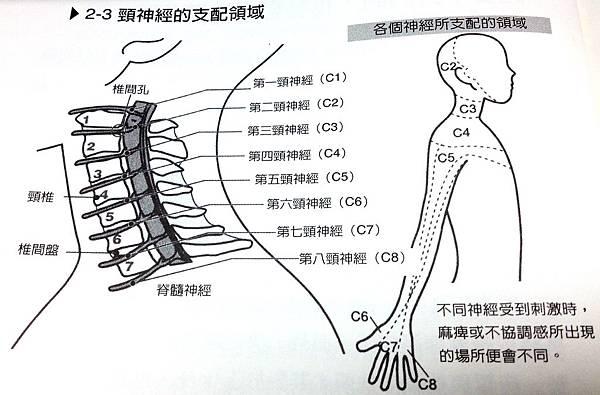 頸神經的支配區域
