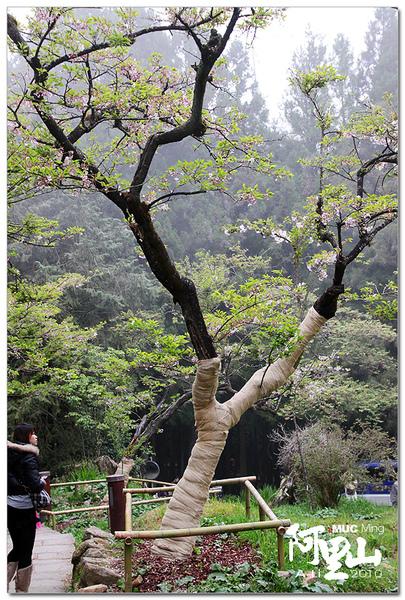包繃帶的櫻花樹