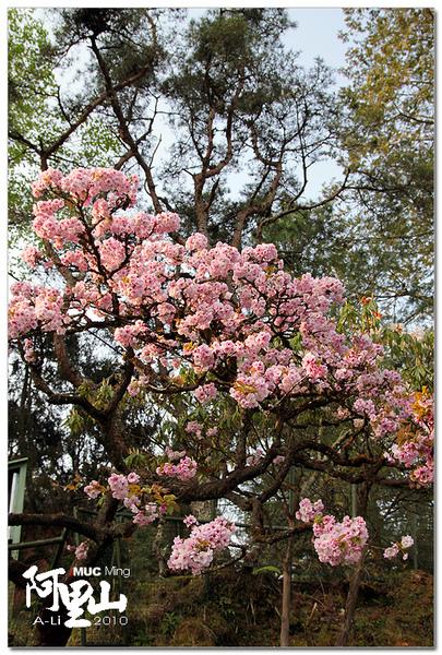 櫻花-普賢象櫻