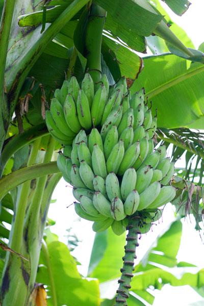 結實纍纍的芭蕉樹