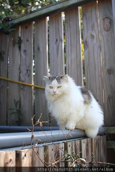 印地安園貓