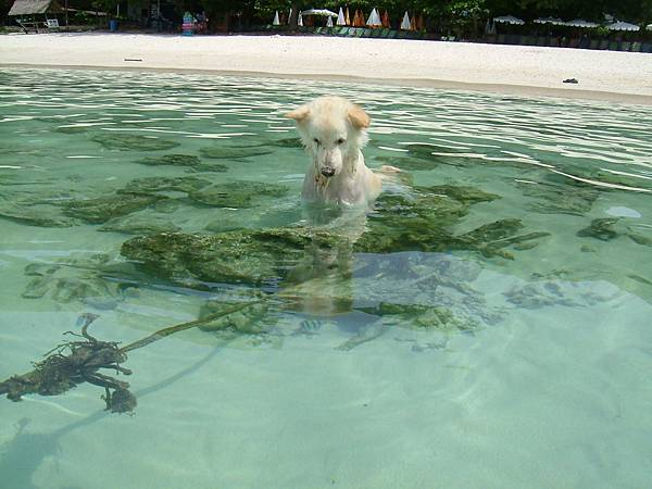這隻小白一直跑到海上抓魚...