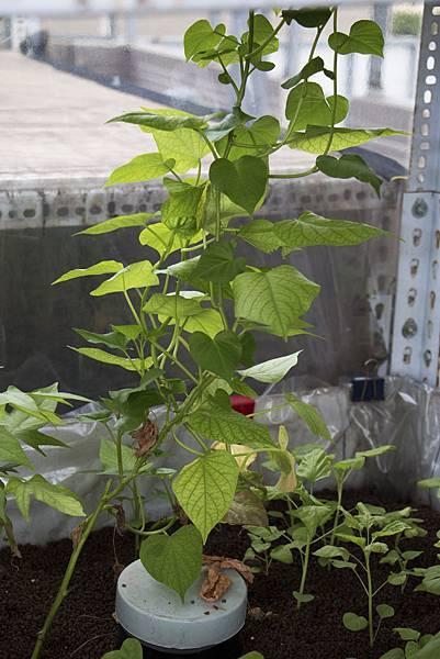地瓜葉種植1個月紀錄-4